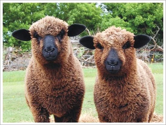 bear-creek-lambs 1